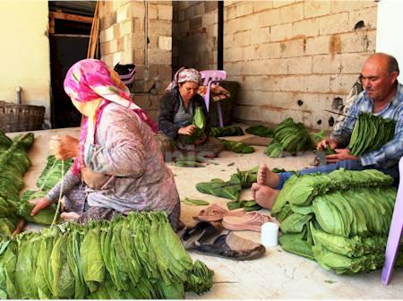 Bir Zamanlar Türkiye'nin Tütün Ambarı Sındırgı'da Tütüncülük (3)